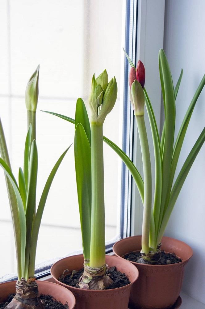 amaryllis flowers by window